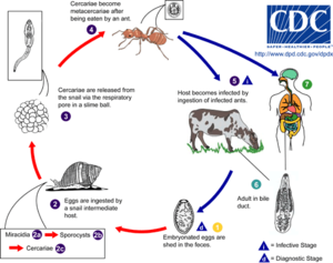 Dicrocoelium dendriticum - Dicrocoelium dendriticum life cycle