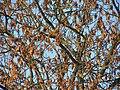 Die geflügelten Samenblätter der Esche - panoramio.jpg