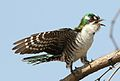 Diederik cuckoo, Chrysococcyx caprius, at Mapungubwe National Park, Limpopo, South Africa - male (29755261510).jpg