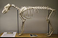 Dingo (Canis lupus dingo) skeleton at the Royal Veterinary College anatomy museum.JPG