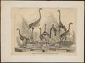 Dinornis giganteus - skelet - 1868 - Print - Iconographia Zoologica - Special Collections University of Amsterdam - UBA01 IZ18900265.tif