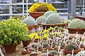 Dionysia collection at Gothenburg Botanical Garden 2015 001.JPG