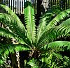 Dioon spinulosum 2.jpg