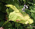 Diphylleia grayi (fruits s3).JPG