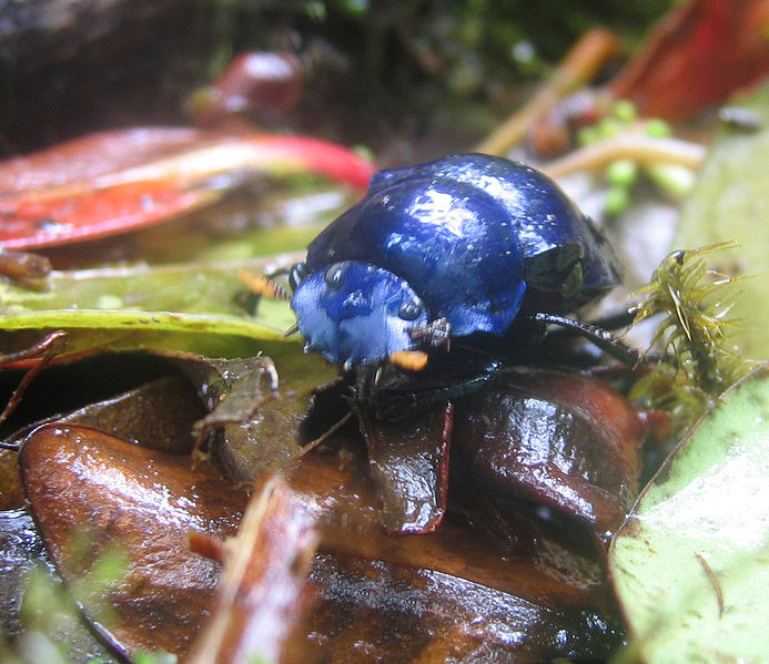 حيوانات باللون الازرق 693px-DirkvdM_blue_b