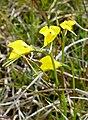 Diuris gregaria - cropped.jpg