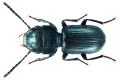Dixus sphaerocephalus (Olivier, 1795) (8899467208).png
