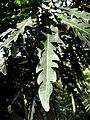 Dizygotheca elegantissima (2).jpg