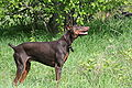 Doberman Pinscher red standing.jpg