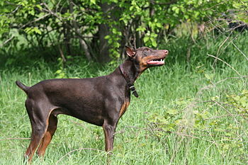 A red Doberman Pinscher.