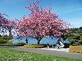 Donated Japanese Cherry Tree.jpg