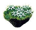 Donatia fascicularis from Endeavour voyage.jpg