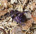 Dor Beetle. Geotrupes stercorarius^ . Scarabidae. Metallic violet u-s - Flickr - gailhampshire.jpg