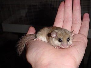 Dormouse on hand
