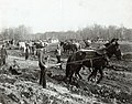 Draft horse pulling a stump during the excavation for the River des Peres in Forest Park during the construction phase of the 1904 World's Fair, 15 February 1902.jpg