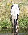 Drinking horse Holland.jpg