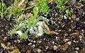 Drosera Microhabitat (12130296663).jpg