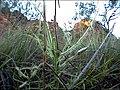 Drosera indica Kununurra1.JPG