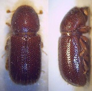 <i>Dryocoetes autographus</i> species of insect