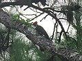 Dryocopus pileatus (44228057305).jpg