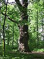 Drzewo dąb dewajtis wola osowińska.jpg