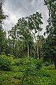 Dubrava Ščomyslickaja natural monument (Belarus) p17.jpg
