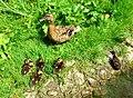 Duck family - Flickr - Stiller Beobachter.jpg