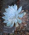 Dudleya pulverulenta - Leaning Pine Arboretum - DSC05823.JPG