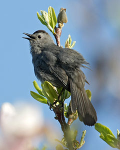 Dumetella carolinensis -Madison, Wisconsin, USA-8.jpg