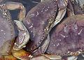 Dungeness crabs reesman odfw (15432100129).jpg
