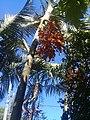 Dypsis lutescens - Areca Bambu - 03.jpg