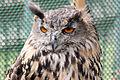 Eagle Owl - American Air Day Duxford August 2009 (4112659179).jpg