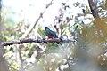 Eared Quetzal (Euptilotis neoxenus).jpg