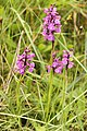 Early Purple Orchid Alcalar Portugal 22.02.16 (25172253086).jpg