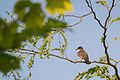 Eastern Kingbird (Tyrannus tyrannus) (19810924474).jpg
