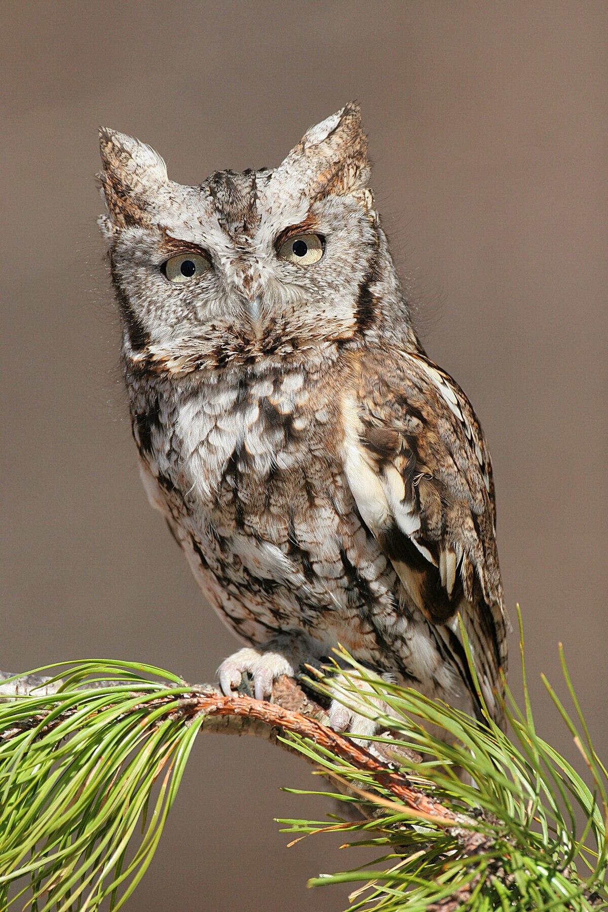 screech owl - Wiktionary