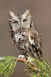 Eastern screech owl species of bird