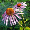 Echinacea-purpurea-DSC00531-Lionet.JPG