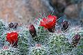 Echinocereus coccineus var. coccineus (16891755748).jpg