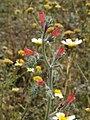 Echium angustifolium RF.jpg