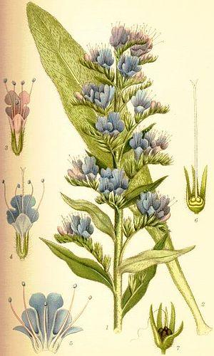Echium vulgare - Image: Echium vulgare blåeld