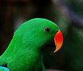Eclectus Parrot. (9825709504).jpg