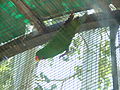 Eclectus Parrot Male.jpg