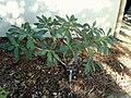 Edgeworthia chrysantha 'Winter Gold' - J. C. Raulston Arboretum - DSC06272.JPG