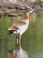Egyptian Goose, Alopochen aegyptiacus in Kruger Park (13650956664).jpg