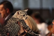 220px-Egyptian_Mau_at_Fif%C3%A9_Worldshow_Sankt_Gallen_2009