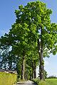 Eichenalle in Schrems Südseite 2014-05 NÖ-Naturdenkmal GD-129.jpg