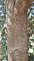 Elaeagnus angustifolia bark 1.jpg