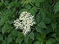 Elderberry (Sambucus nigra) (4654531348).jpg