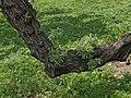 Eleagnus-angustifolia-tronco.jpg